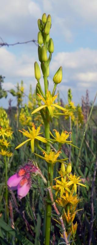 Moorlilie - Narthecium ossifragum